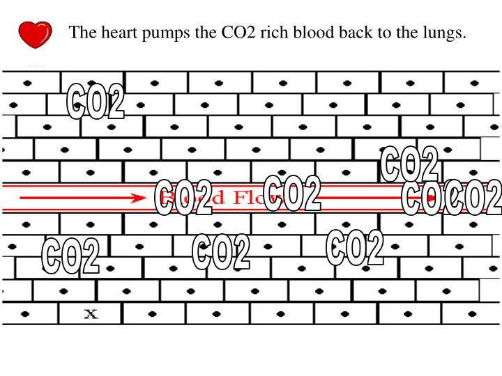 The heart pumps the CO2 rich blood back to the lungs.
