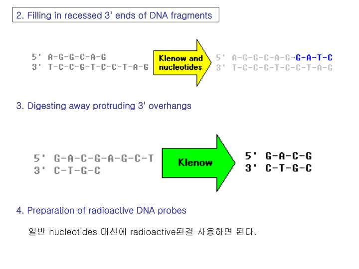 2. Filling in recessed 3' ends of DNA fragments