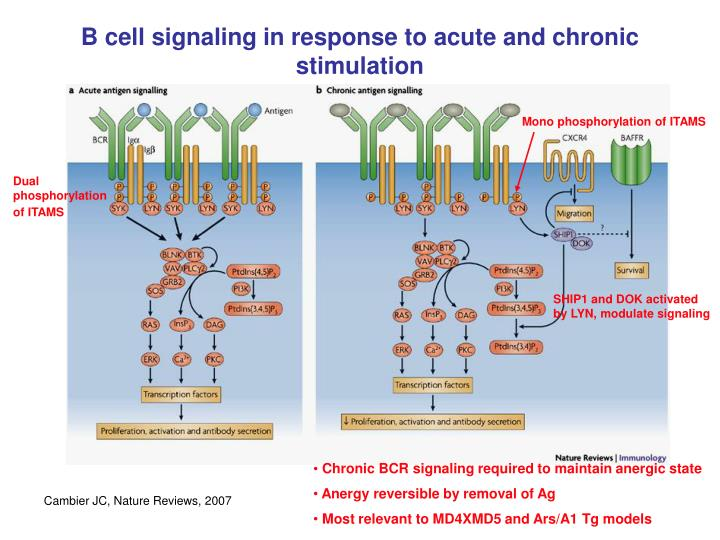 B cell signaling in response to acute and chronic stimulation