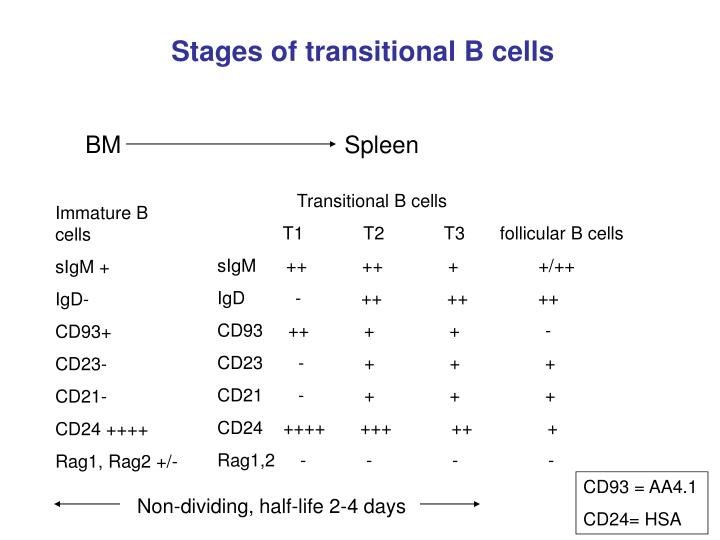 Stages of transitional B cells
