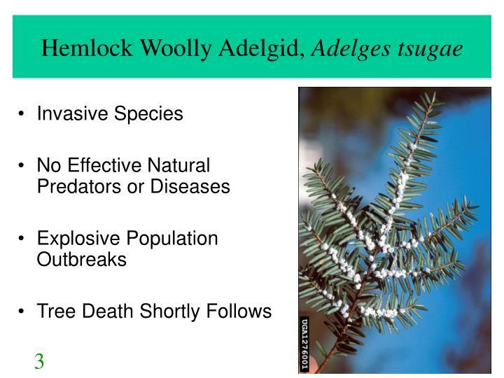 Hemlock Woolly Adelgid,