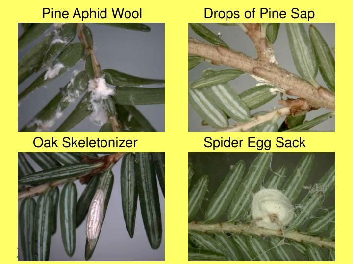 Pine Aphid Wool