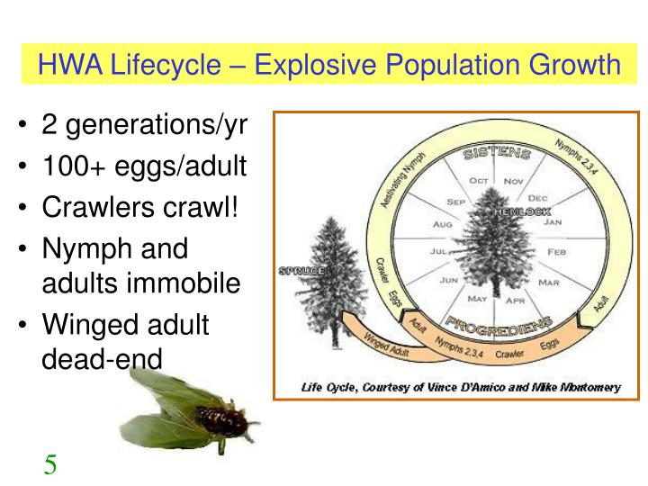 HWA Lifecycle – Explosive Population Growth