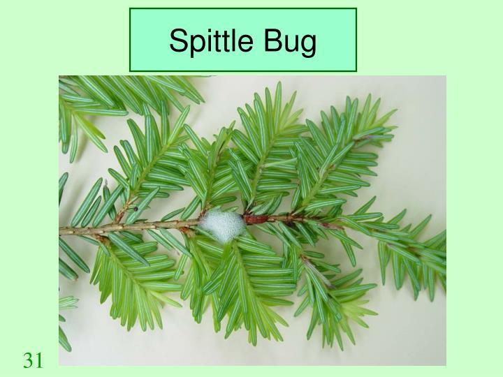 Spittle Bug