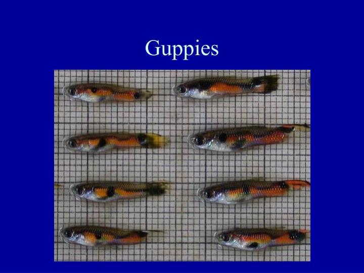 Guppies