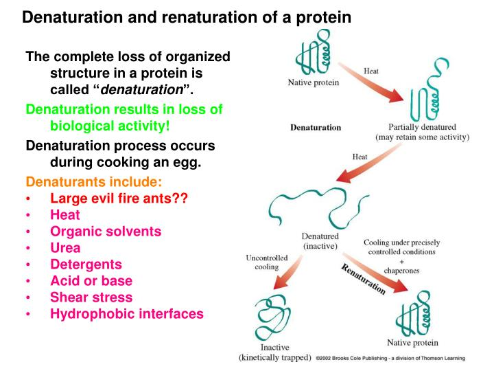 Denaturation and renaturation of a protein