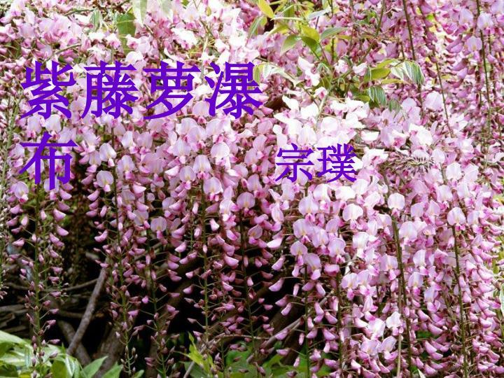 紫藤萝瀑布