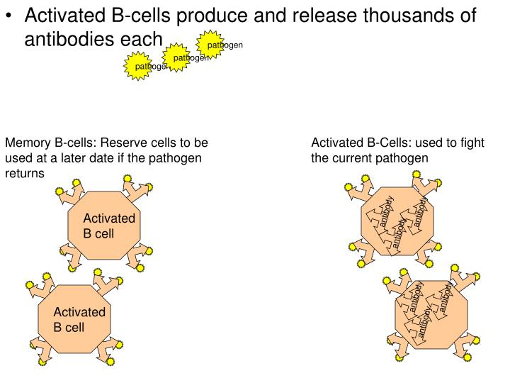 Activated B-cells produce and release thousands of antibodies each