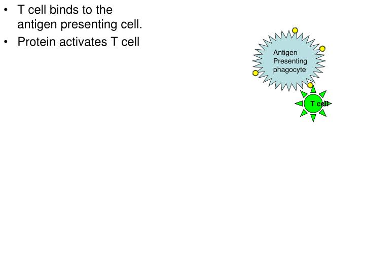 T cell binds to the antigen presenting cell.