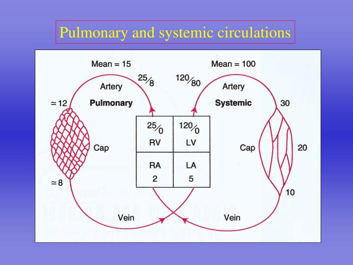 Pulmonary and systemic circulations