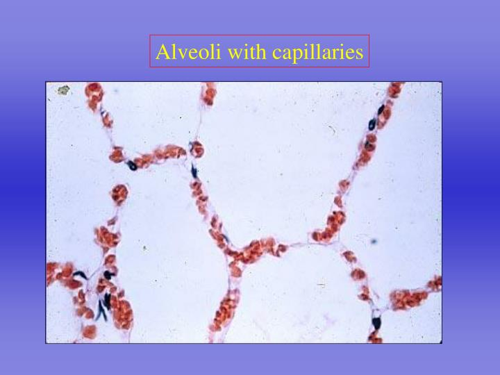 Alveoli with capillaries
