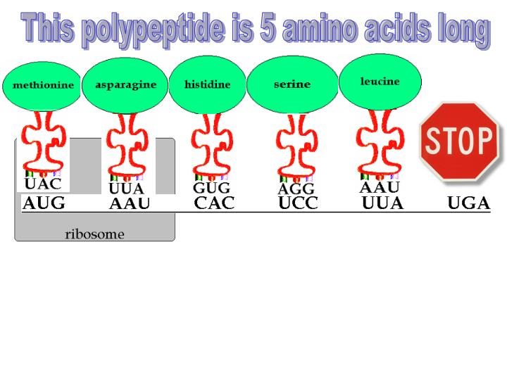 This polypeptide is 5 amino acids long