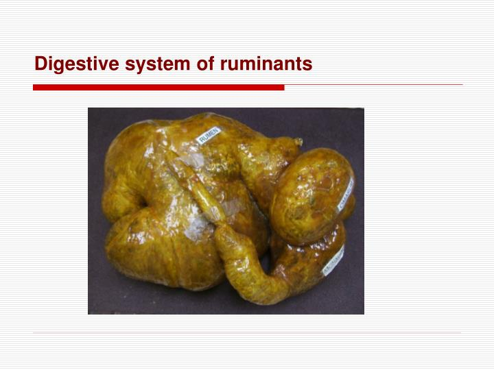 Digestive system of ruminants