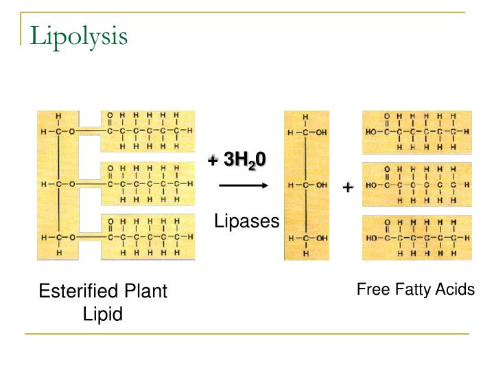 Lipolysis