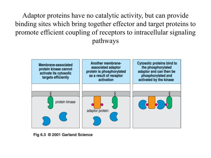 Adaptor proteins have no catalytic activity, but can provide binding sites which bring together effector and target proteins to promote efficient coupling of receptors to intracellular signaling pathways