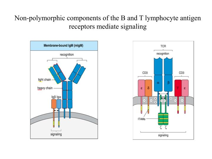 Non-polymorphic components of the B and T lymphocyte antigen receptors mediate signaling