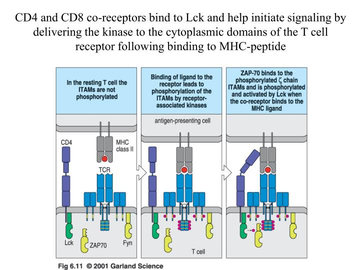 CD4 and CD8 co-receptors bind to Lck and help initiate signaling by delivering the kinase to the cytoplasmic domains of the T cell receptor following binding to MHC-peptide