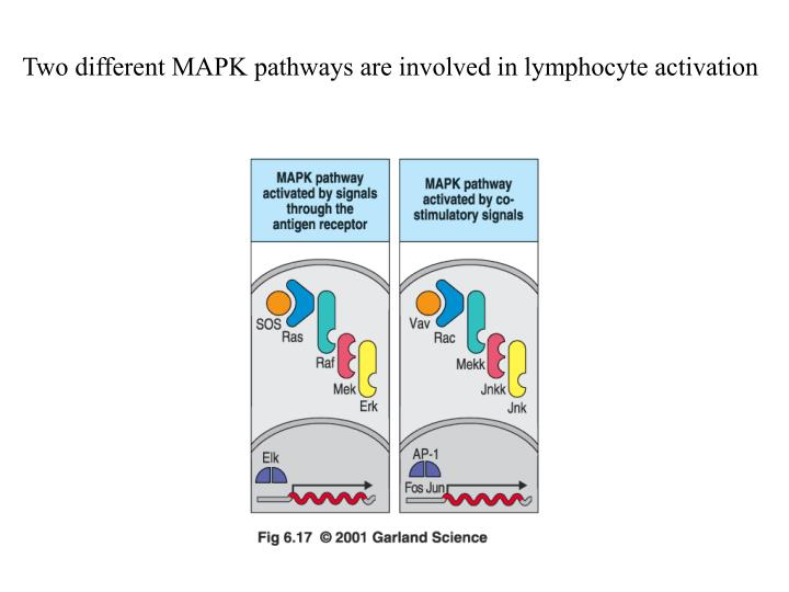 Two different MAPK pathways are involved in lymphocyte activation
