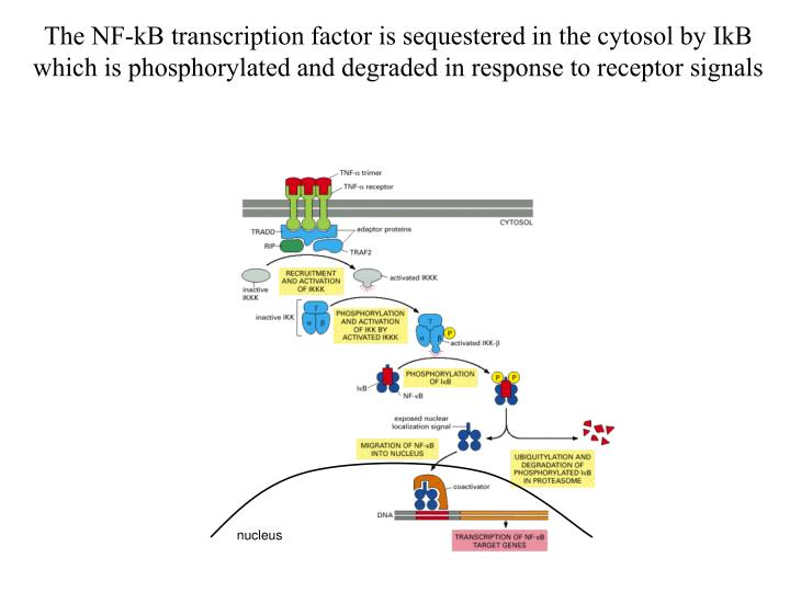 The NF-kB transcription factor is sequestered in the cytosol by IkB which is phosphorylated and degraded in response to receptor signals