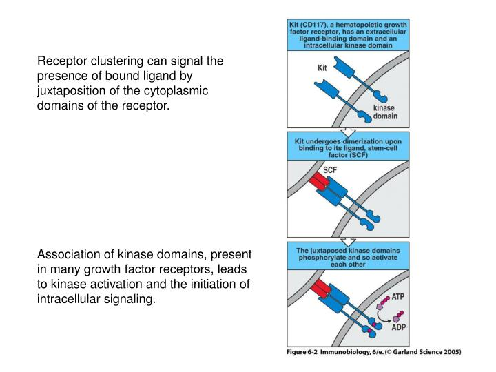 Receptor clustering can signal the presence of bound ligand by juxtaposition of the cytoplasmic domains of the receptor.