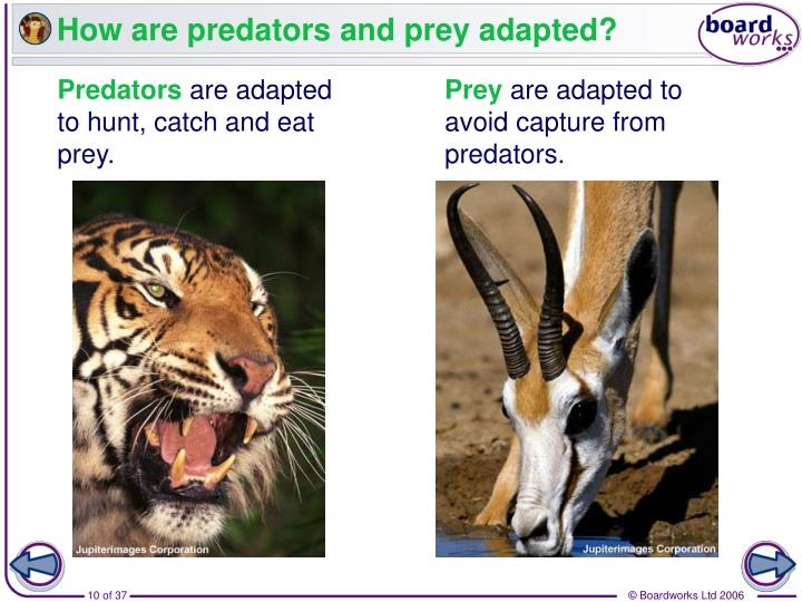 How are predators and prey adapted?