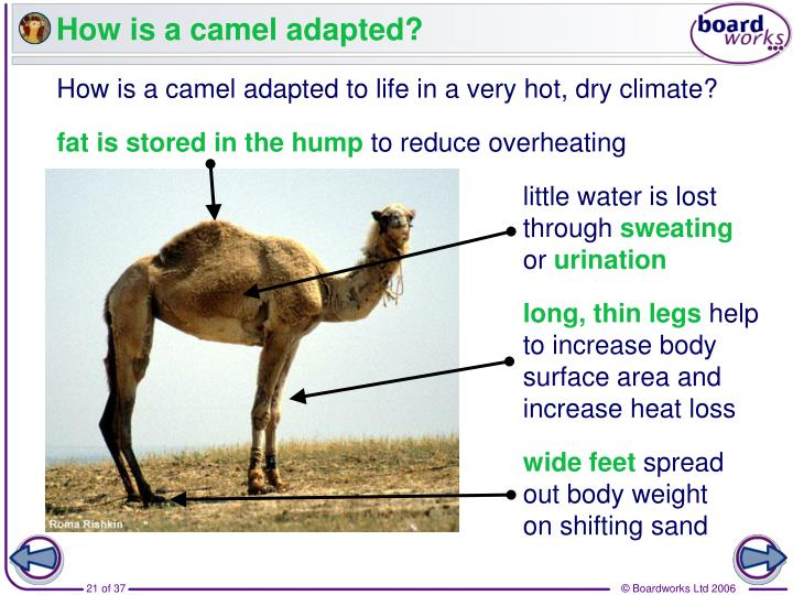 How is a camel adapted?