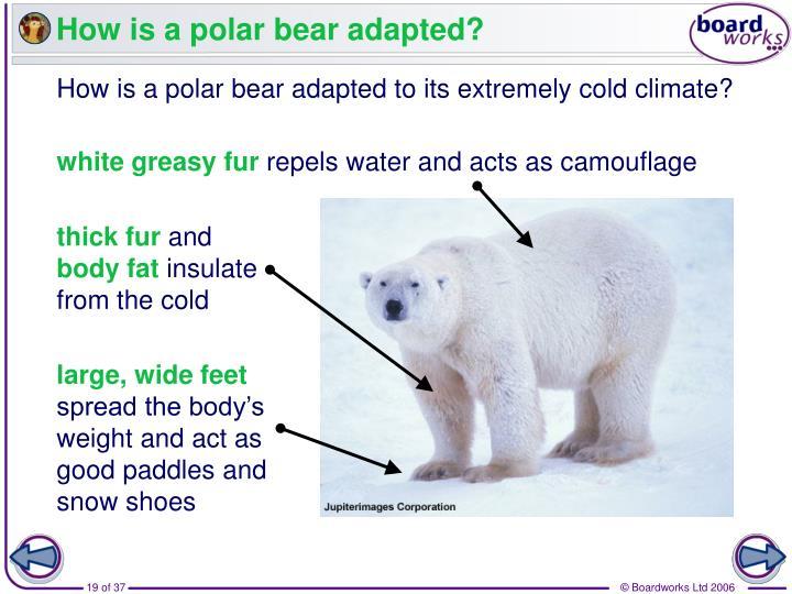 How is a polar bear adapted?
