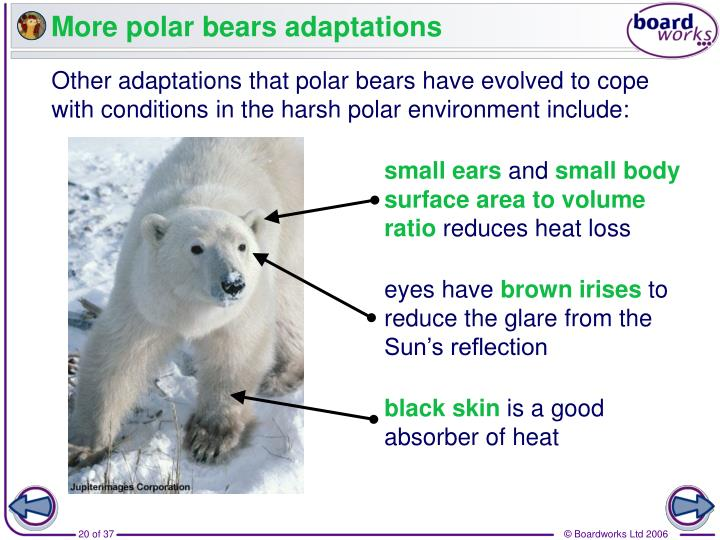 More polar bears adaptations