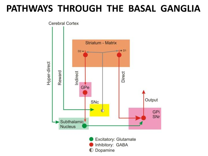 PATHWAYS  THROUGH  THE  BASAL  GANGLIA