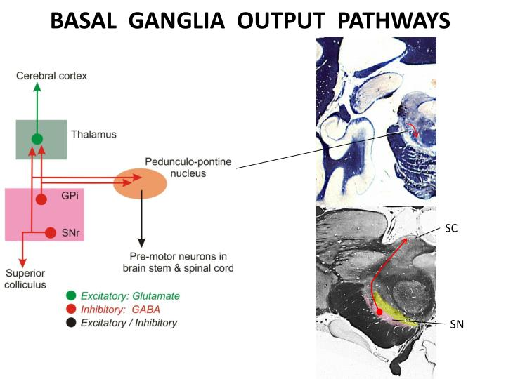 BASAL  GANGLIA  OUTPUT  PATHWAYS