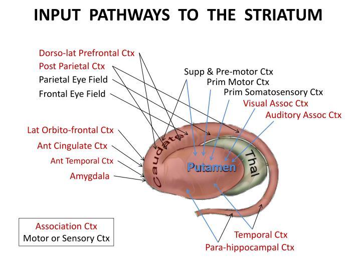 INPUT  PATHWAYS  TO  THE  STRIATUM