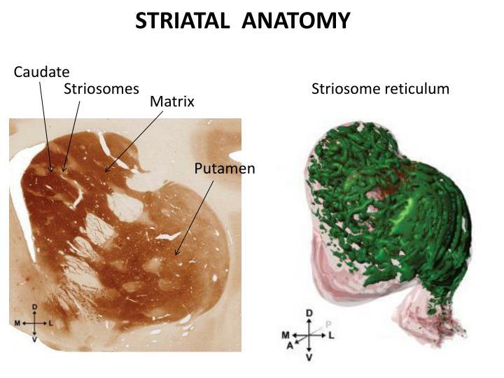 STRIATAL  ANATOMY