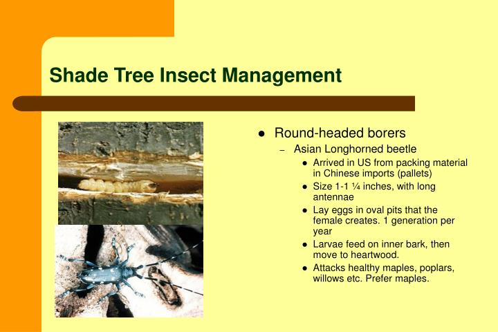 Shade Tree Insect Management