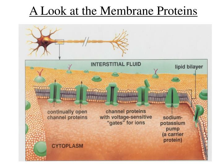 A Look at the Membrane Proteins