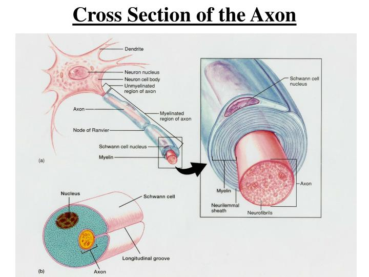 Cross Section of the Axon
