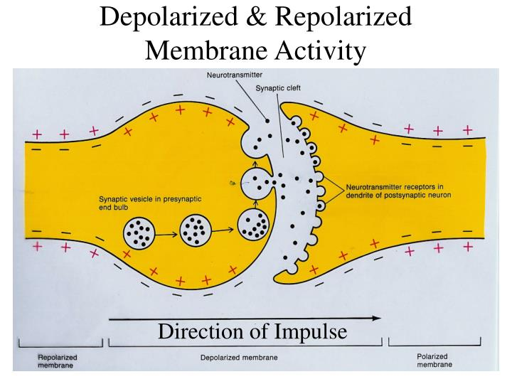 Depolarized & Repolarized Membrane Activity