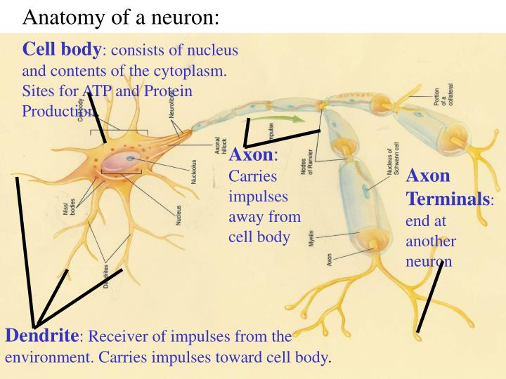 Anatomy of a neuron: