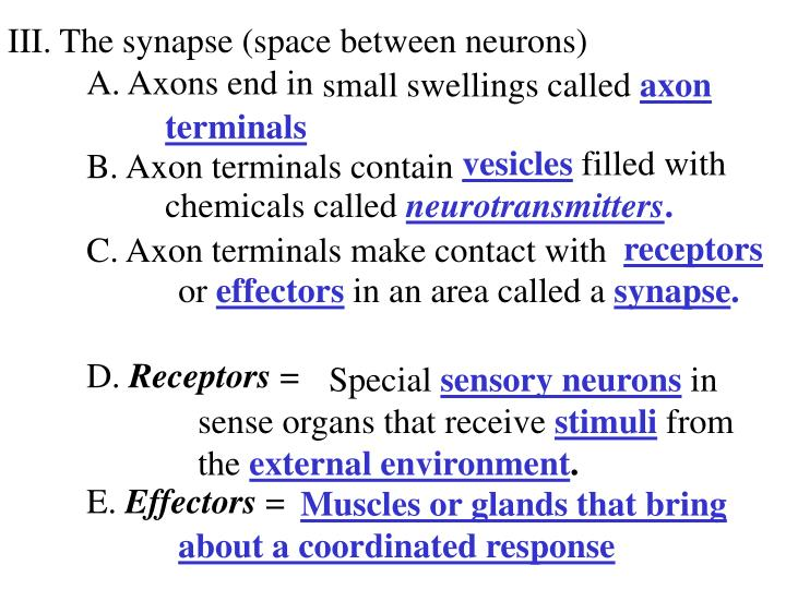 III. The synapse (space between neurons)