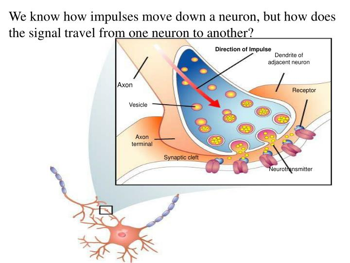 Figure 35-8 The Synapse