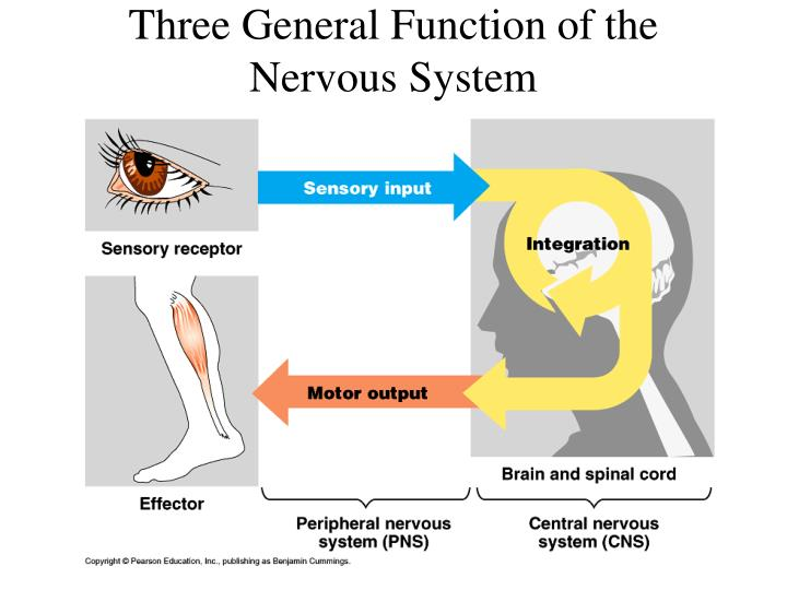 Three General Function of the Nervous System