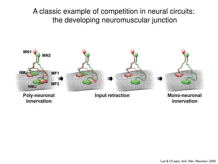 A classic example of competition in neural circuits: