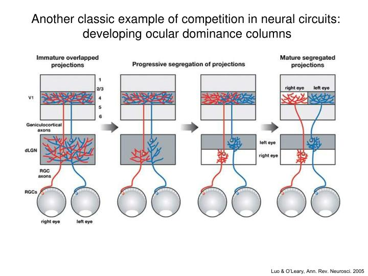 Another classic example of competition in neural circuits: