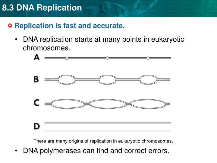 There are many origins of replication in eukaryotic chromosomes.