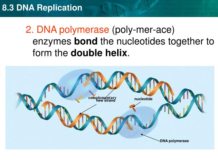 nucleotide