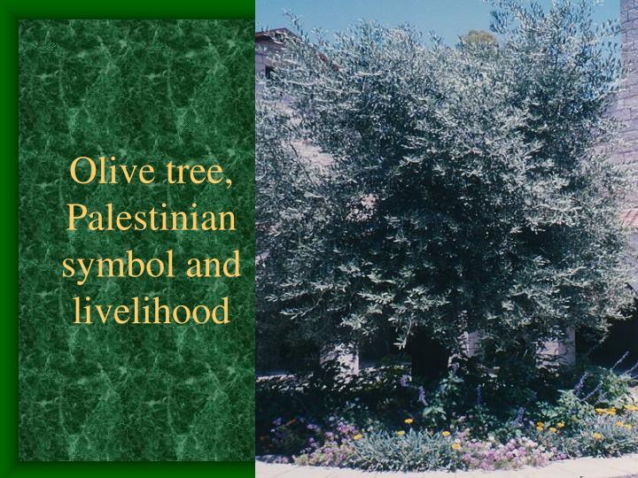 Olive tree, Palestinian symbol and livelihood