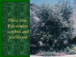 olive tree palestinian symbol and livelihood