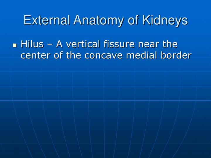 External Anatomy of Kidneys