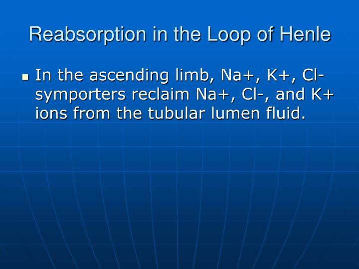 Reabsorption in the Loop of Henle