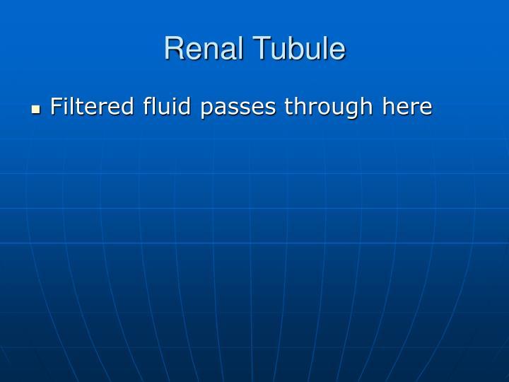 Renal Tubule