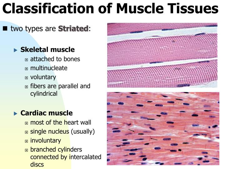 Classification of Muscle Tissues